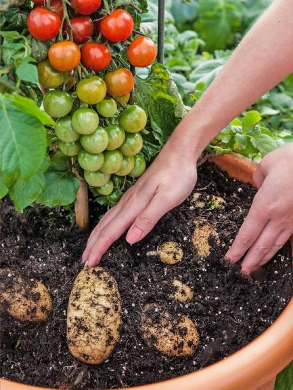 Il TomTato la pianta che produce sia pomodori che patate [Video]